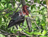 Glossy Ibis - Plegadis falcinellus (on nest)