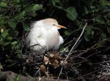 Cattle Egret - Bubulcus ibis (on nest)