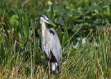 Great Blue Heron - Ardea herodias