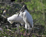 Wood Storks - Mycteria americana (on nest)