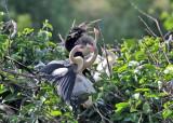 Anhinga - Anhinga anhinga (family on nest)