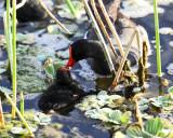Common Gallinule - Gallinula galeata feeding chick