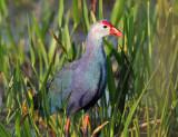 Purple Swamphen - Porphyrio porphyrio