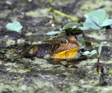 Pig Frog - Lithobates grylio