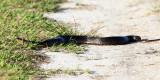 Florida Green Water Snake - Nerodia floridana