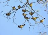 Cedar Waxwings - Bombycilla cedrorum