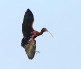 Glossy Ibis - Plegadis falcinellus