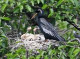 Anhinga - Anhinga anhinga (on nest with chicks)