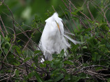 Great Egret - Ardea alba (on nest)