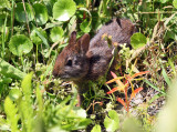 Marsh Rabbit - Sylvilagus palustris