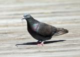 Rock Pigeon - Columba livia