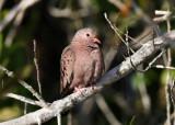 Common Ground-Dove - Columbina passerina