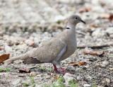 Eurasian Collared-Dove - Streptopelia decaocto