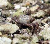 Fiddler Crab - Uca sp.