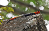 Red-headed Agama - Agama agama