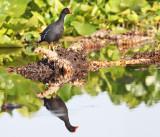 Common Gallinule - Gallinula galeata