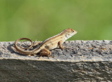 Brown Anole - Anolis sagrei