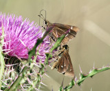 Twin-spot Skippers - Oligoria maculata