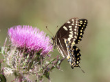 Palamedes Swallowtail - Papilio palamedes