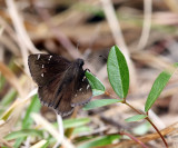 Northern Cloudywing - Thorybes pylades