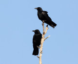 Fish Crows - Corvus ossifragus