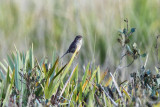 Bachman's Sparrow - Aimophila aestivalis