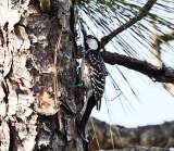Red-cockaded Woodpecker - Picoides borealis