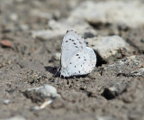 Spring Azure - Celastrina ladon