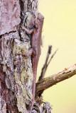 Northern Fence Lizard - Sceloporus undulatus hyacinthinus
