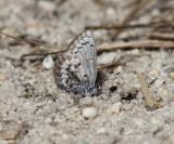 Northern Azure - Celastrina lucia