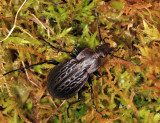 Carabus maeander