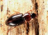 Stenolophus conjunctus