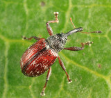 Cranberry Weevil - Anthonomus musculus