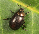 St. Johnswort Beetle - Chrysolina hyperici
