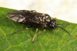 Monophadnoides osgoodi
