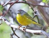 Warblers - genus Oreothlypis