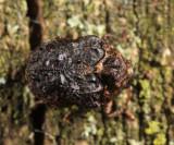 Neochlamisus bebbianae