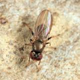 Aulacigaster neoleucopeza