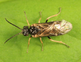 Paracharactus niger