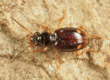 Bembidion frontale