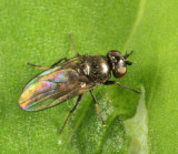 Oscinella sp.