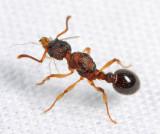 Myrmica pinetorum (queen)