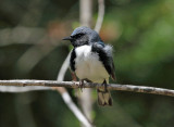 Black-throated Blue Warbler - Setophaga caerulescens