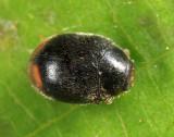Scymnus fraternus or brullei