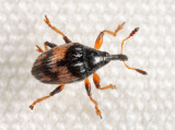 Straight-snout Weevils - Subfamily Nanophyinae