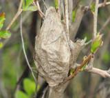 7767 - Cecropia Moth cocoon - Hyalophora cecropia