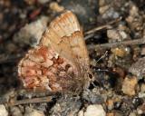 Bog Elfin - Callophrys lanoraieensis