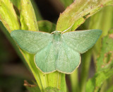7085 - Day Emerald - Mesothea incertata