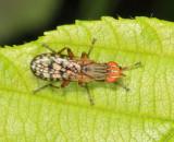 Pherbecta limenitis