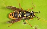 Vespula vidua (queen)